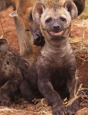 hiena que se ríe